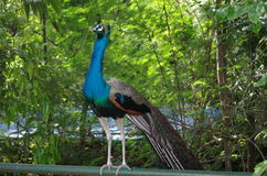 Peacock india. Peacock in Ahmadabad Gujarat, India stock image