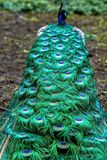 The peacock or Indian peacock lat. Pavo cristatus - the most numerous species of peacocks. The tail of a male peacock. Selective focus royalty free stock photos