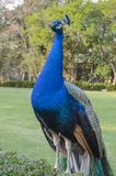 Peacock. Indian wild peacock Pavo cristatus stock images
