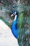 Peacock with iridescent blue feathers. Close up view of the head of a peacock with iridescent blue feathers displaying the tail covert feathers in a mating Stock Images