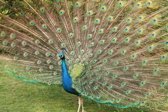 Peacock. Iridescent coloration and large train Royalty Free Stock Photography
