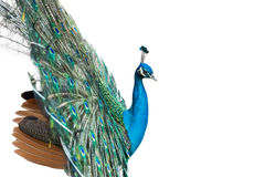 Peacock isolated on white Royalty Free Stock Images