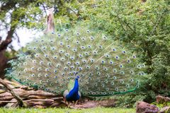 Peacock and its beautiful feathers stock photography