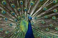 Peacock, Kent, UK royalty free stock photos