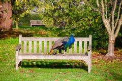 Peacock at Kew Gardens park Southwest London England UK stock photos