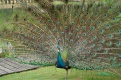 Peacock-King of Birds(4) royalty free stock photo