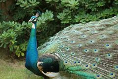 Peacock-King of Birds(3) royalty free stock photography