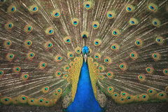 The peacock known has the Peafowl. Pavo Stock Photography
