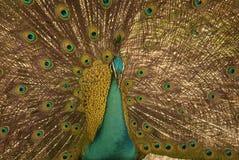 Peacock, Kuala Lumpur, Malaysia Stock Photo