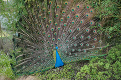 Peacock with large tail. Resting in the middle of the vegetation Stock Photos