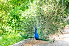 The peacock latin name Pavo cristatus bird on the park street. Colorful bird with beautiful feathers is walking on grass. Portrait of peacock bird royalty free stock images