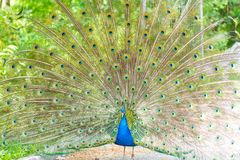 The peacock latin name Pavo cristatus bird on the park street. Colorful bird with beautiful feathers is walking on grass. Portrait of peacock bird royalty free stock image