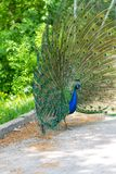 The peacock latin name Pavo cristatus bird on the park street. Colorful bird with beautiful feathers is walking on grass. Portrait of peacock bird stock image