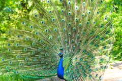 The peacock latin name Pavo cristatus bird on the park street. Colorful bird with beautiful feathers is walking on grass. Portrait of peacock bird royalty free stock photography