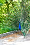 The peacock latin name Pavo cristatus bird on the park street. Colorful bird with beautiful feathers is walking on grass. Portrait of peacock bird stock photography