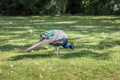 Peacock on the lawn. On a sunny day Stock Photos