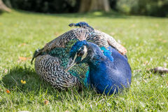 Peacock on the lawn. On a sunny day Royalty Free Stock Photography