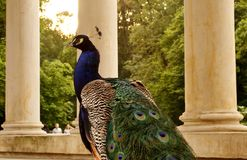 Peacock in Lazienki Park, Warsaw. Beautiful peacock in Lazienki - Royal Baths Park in Warsaw, Poland stock image
