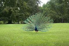 Peacock in Lazienki Park. Warsaw. Poland Stock Image