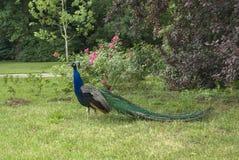 Peacock in Lazienki Park. Warsaw. Poland Royalty Free Stock Photos