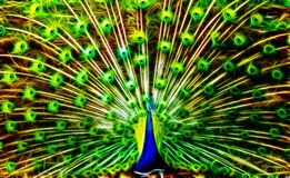 Peacock In Light Royalty Free Stock Images