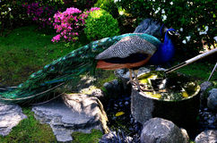 Peacock. London, UK: a peacock looking for water at the Japanese Garden in Holland Park Stock Images