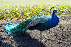 Peacock 3 Stock Images
