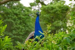 Peacock behind a hedge row royalty free stock photography