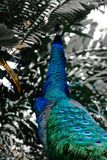 Peacock looking to abstract colors rainforest background. Peacock looking to noisy and blurred abstract colors rainforest background royalty free stock image