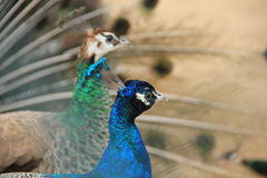 Peacock-love Royalty Free Stock Image