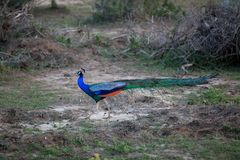 A peacock with luminous colorful colors in the Yala Nationalpark. On the tropical island Sri Lanka in the Indian Ocean during a jeep safari tour Royalty Free Stock Photos