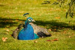Peacock lying in shadow of tree in city park, Victoria, Canada. Beatiful colorful peacock in shadow of tree in city of Victoria, Vancouver Island, Canada stock photos