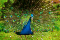 Peacock male Royalty Free Stock Photos
