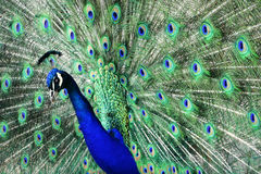 Peacock. A male peacock with all it`s feathers spread at the Cincinnati Zoo in Ohio Royalty Free Stock Photos