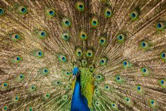 The peacock male dissolved the plumage. Habitat The male peacock in the mating season royalty free stock photography