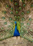 The peacock male dissolved the plumage. Habitat. The male peacock in the mating season royalty free stock images