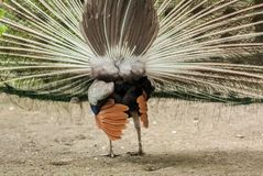 The peacock male dissolved the plumage. View from the back.Close-up. Habitat stock photo