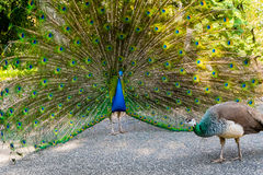 Peacock male and female Royalty Free Stock Photo