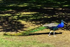 Peacock - male Indian or green peafowl in British Park - Warwick, Warwickshire, UK. Peacock - male Indian or green peafowl in British Park - Warwick royalty free stock photography
