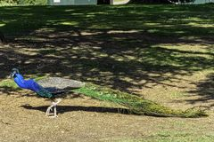 Peacock - male Indian or green peafowl in British Park - Warwick, Warwickshire, UK. Peacock - male Indian or green peafowl in British Park - Warwick stock photography