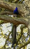 Peacock - male Indian or green peafowl on the tree in British Park - Warwick, Warwickshire, UK. Peacock - male Indian or green peafowl on the tree in British royalty free stock photos