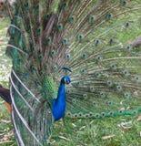 Peacock1 Stock Photography