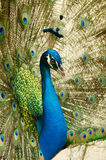 Peacock. A male peacock resplendent during a courtship dance to attract female Royalty Free Stock Photos