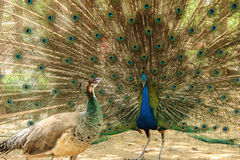 Peacock. Male Peacock show female peacock his beautiful tail stock photography