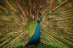 Beautiful peacock. A male peacock spread its beautiful screen to visitors Royalty Free Stock Photo