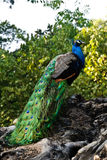 A peacock. A male peacock is standing on a tree Royalty Free Stock Photos