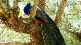 Peacock male in a tree (4K) stock video
