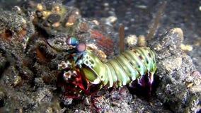 Peacock Mantis Odontodactylus scyllarus Lembeh strait stock footage
