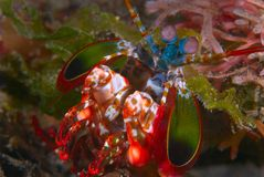 Free Peacock Mantis Shrimp Stock Photo - 2409460
