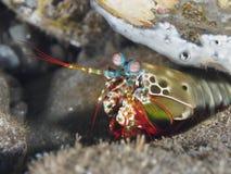 Peacock mantis shrimp. In Bali sea stock photography